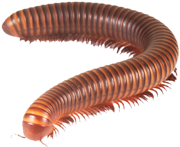 Living Organisms Millipede