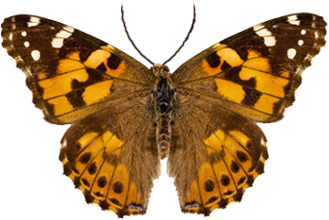 Painted Lady Butterfly Organism